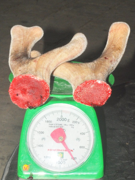 Cặp lộc nhung mà chúng tôi chứng kiến cắt ở gia đình anh Trần Văn Dũng, chủ hộ nuôi hươu tại xã Sơn Lệ, huyện Hương Sơn hôm nay có trọng lượng 0,8kg. Theo tốp thợ thì đây là cặp lộc nhung đẹp, khách hàng rất ưa chuộng.