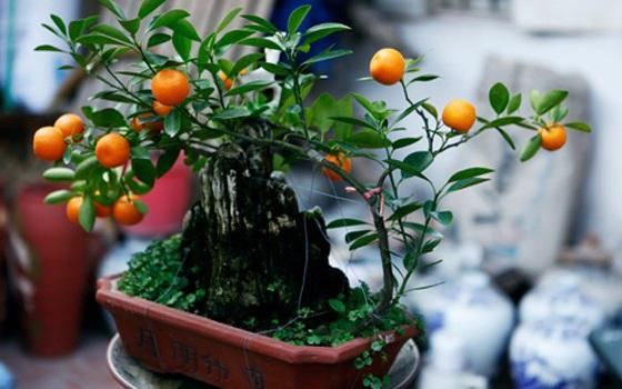 Thú vui trồng lại cây quất cảnh sau Tết - 1