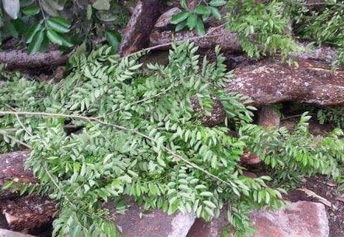 Thân của cây gỗ sưa (ảnh: Đan Hạ)