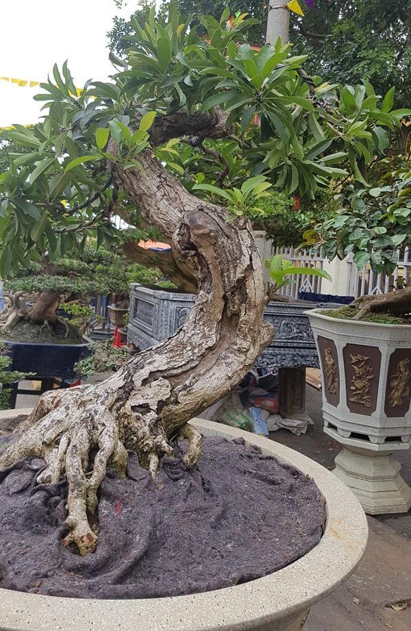 """Cây cảnh có bộ rễ """"quái vật"""": Trông như củi khô hét giá trăm triệu - 7"""