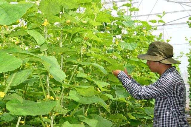 Chăm sóc dưa lưới ở huyện Châu Thành, tỉnh Sóc Trăng.