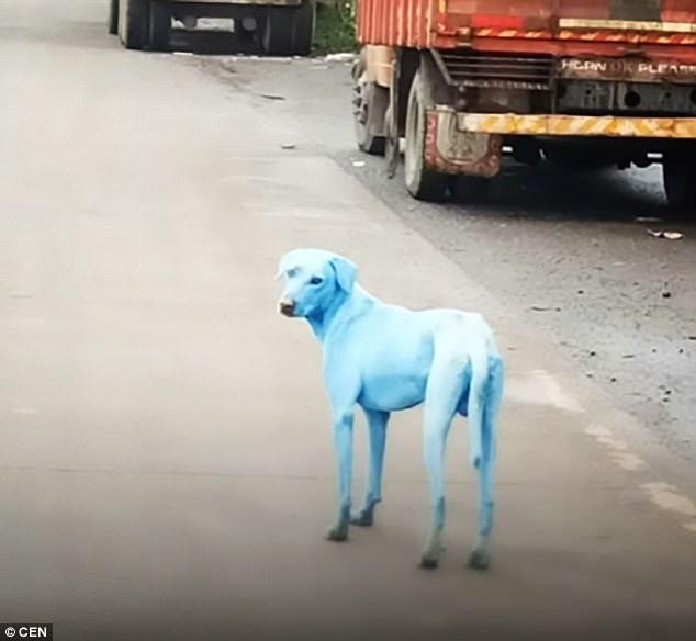 Chó chuyển màu xanh khi uống và tắm nước một con sông ở Ấn Độ - 1