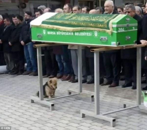 Chú chó Cesur đau buồn bên quan tài chủ nhân của mình trong tang lễ