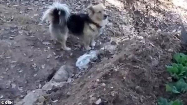 Chú chó Cesur canh chừng mộ chủ nhân của mình mỗi ngày