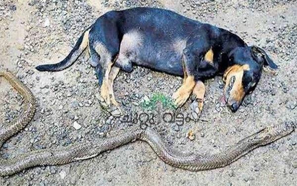 Chú chó Mouli đã hy sinh thân mình sau cuộc tử chiến với con rắn độc để bảo vệ gia chủ