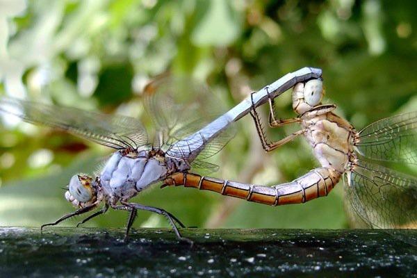 Kỳ thú: Chuồn chuồn cái giả chết để tránh giao phối - 3
