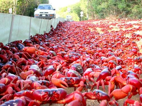Cua đỏ trong mùa di cư tràn xuống đường để ra biển đẻ trứng