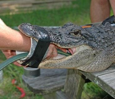 Cá sấu ăn cả cá mập và nhiều loài khác nữa - 3
