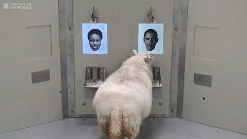 Một con cừu nhớ lại khuôn mặt của cựu Tổng thống Mỹ Barack Obama. Ảnh: eveningexpress.co.uk.