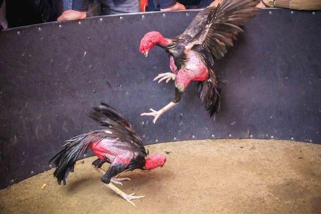 """Cứ mỗi độ xuân về, ở công viên Thương Bạc (đường Trần Hưng Đạo, TP Huế) lại diễn ra lễ hội đá gà vui Xuân để những người """"mê gà"""" lại có dịp mang những chú gà chọi quý của mình ra thách đấu. (Ảnh: D. Dương)"""