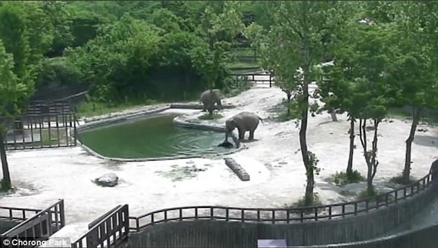 Chú voi trưởng thành thứ 2 đứng ở xa những cũng lập tức lao đến để giúp đỡ kéo chú voi con lên bờ