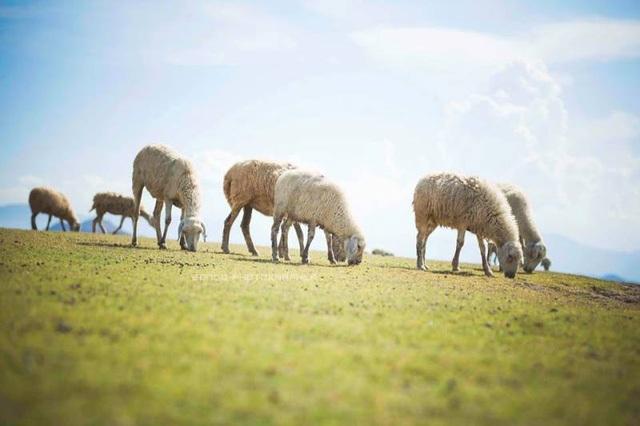 Nổi bật giữa không gian ngập màu xanh là những chú cừu trắng dễ thương đang thong dong gặm cỏ. (Ảnh: Internet)