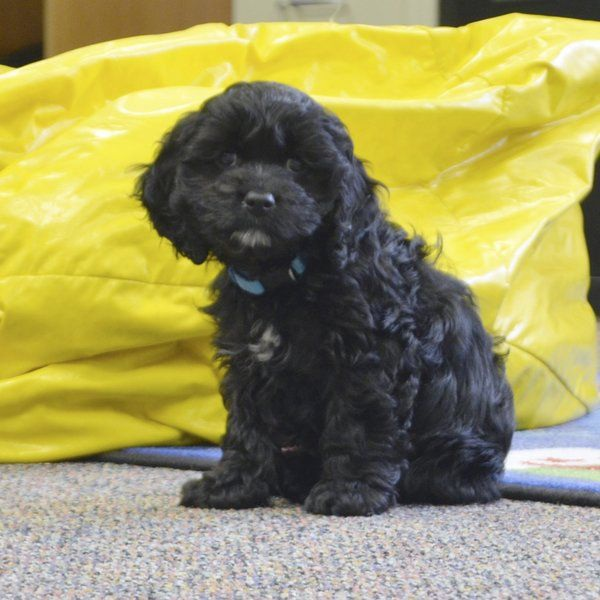 Chó Frankie là chó trị liệu về đọc sách của trường Maconaquah.