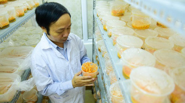 Tiến sỹ Nhạ cho biết, đông trùng hạ thảo nuôi cấy có giá khá rẻ dao động từ 60 - 120 triệu đồng/kg. Ảnh: Toàn Vũ