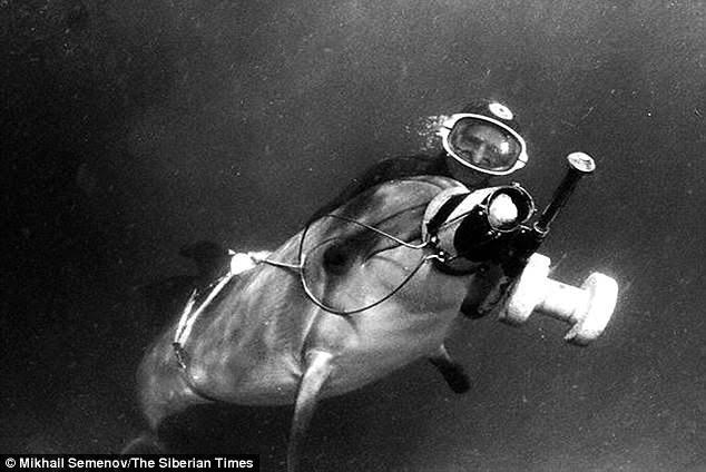 Hải cẩu có thể hỗ trợ thợ lặn, lấy đồ theo yêu cầu. (Ảnh: Dailymail)