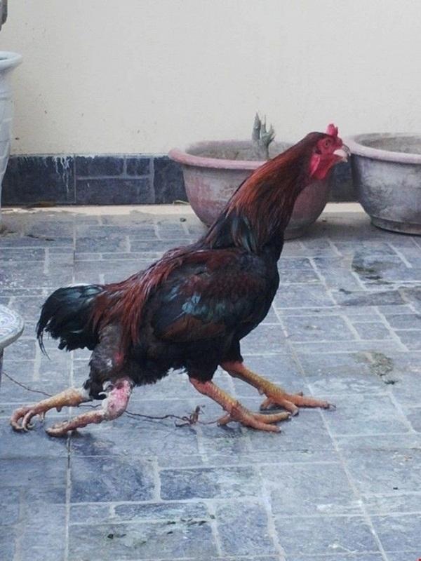 Chú gà trống chọi 4 chân độc nhất vô nhị xuất hiện tại Hà Nội.