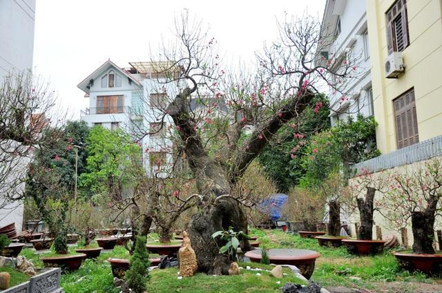 Hai gốc đào rừng Mộc Châu có tuổi đời khoảng 80 năm, đã ghép cành đào Nhật Tân và tạo thế long quấn thủy của anh Hoàng Hoan (Tứ Liên – Hà Nội).