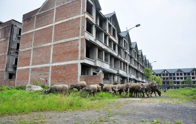 Đàn trâu khoảng hơn 30 con của gia đình bà Nguyễn Thị Nghĩa (Hoài Đức - Hà Nội) nhởn nhơ gặm cỏ trước một dãy biệt thự