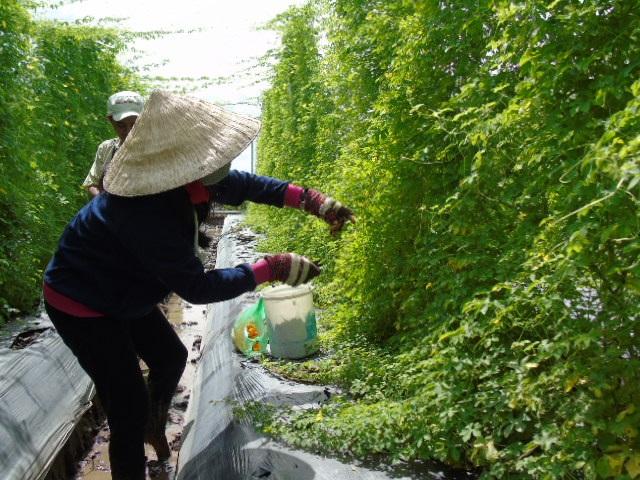 Khổ qua đang cho nhiều quả, buộc chị Thao phải thuê nhiều người hái mới kịp vụ