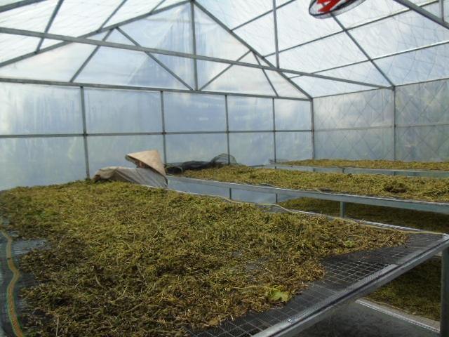 Do cây được trồng sạch không phun thuốc, không hóa chất nên thân cây khổ qua cũng được chị Thao tận dụng tối đa