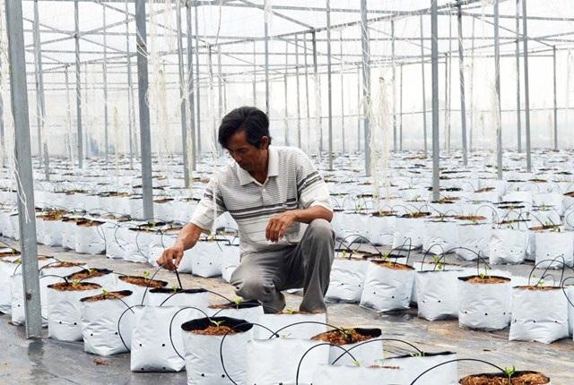 Vườn dưa lưới của ông Chưng áp dụng kỹ thuật tưới nhỏ giọt công nghệ Israel