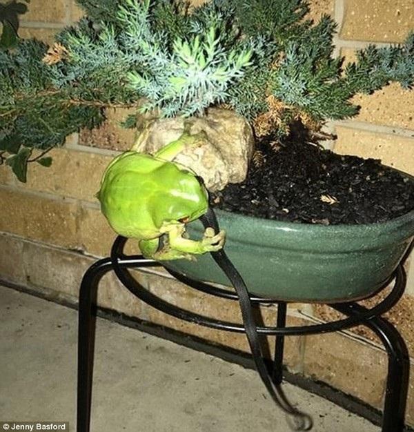 """Con ếch ngồi trên cây, nắm chặt con rắn bằng """"bàn tay"""" của mình"""