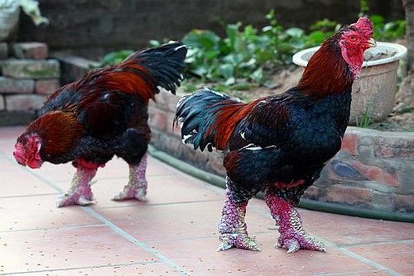 Những con gà Đông Tảo chuẩn có giá bán phổ biến từ 1,5-2 triệu đồng/kg.