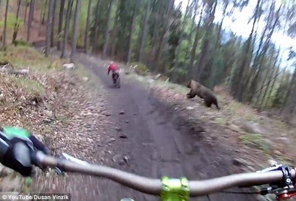 Con gấu bất ngờ xuất hiện từ trong rừng và đuổi theo người đi xe đạp ở phía trước một đoạn trước khi quay trở lại rừng