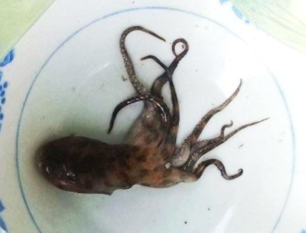Con bạch tuộc nghi cắn chết chị Tý rất nhỏ.