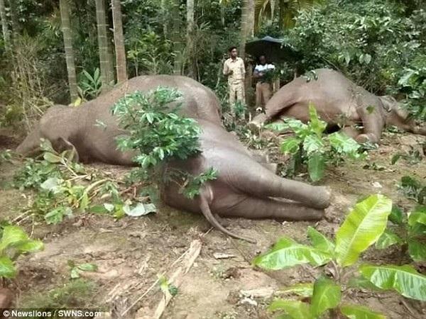 Đáng thương hình ảnh cả gia đình voi bị điện giật chết - 1