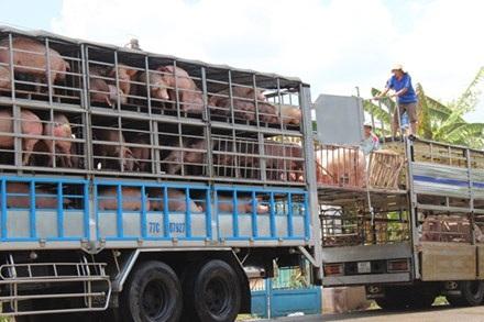 Giá thịt lợn hơi tại các địa phương đều rớt thảm hại. (Ảnh: Internet)