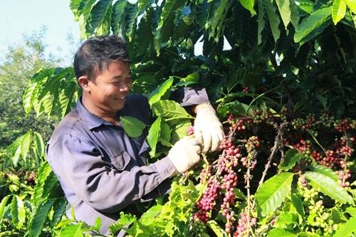 Người nông dân trồng cà phê tại TP. Buôn Ma Thuột sẽ được hỗ trợ để phát triển năng suất và chất lượng