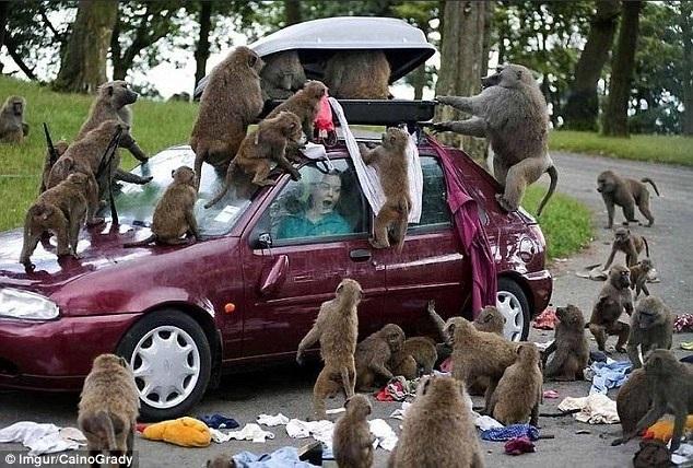"""Hãy xem một bầy khỉ có thể """"quấy rối"""" chuyến đi của bạn thế nào. Chúng lục tung vali quần áo của một du khách khiến người ta liên tưởng tới hình ảnh quầy hàng quần áo bán đợt giảm giá."""
