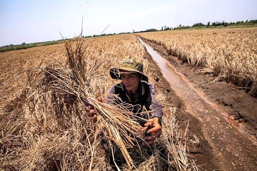 Biến đổi khí hậu, nước biển dâng và việc chặn dòng sông Mê Kông để xây thủy điện đã và đang khiến đồng bằng sông Cửu Long không còn là vùng trù phú (ảnh minh họa)