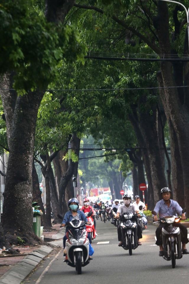 Hàng cây xà cừ trăm năm tuổi trên đường Tôn Đức Thắng, quận 1, TPHCM sắp bị đốn hạ để phục vụ cho việc xây dựng công trình cầu Thủ Thiêm 2. (Ảnh: Nguyễn Quang)