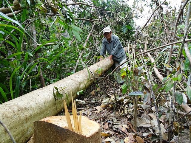 Nhiều diện tích rừng có chức năng phòng hộ tại tiểu khu 310 và 311 thuộc huyện Sông Hinh (Phú Yên) đang bị tàn phá để phục vụ dự án chăn nuôi bò thịt chất lượng cao (Ảnh: Trung Thi)