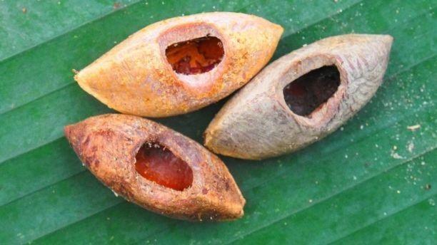 Những hạt này có dấu răng đặc trưng của chuột Uromys vika.