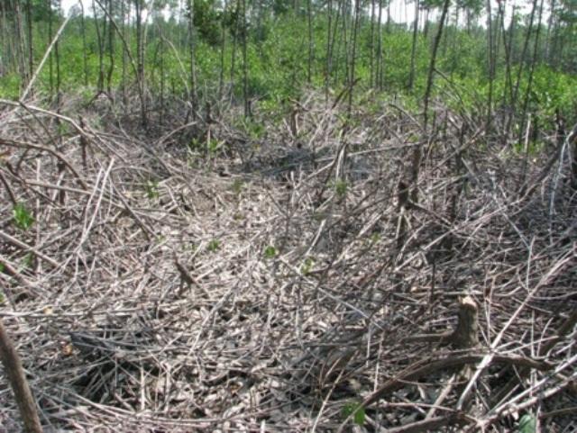 UBND tỉnh Cà Mau yêu cầu Công ty Công Lý tự bỏ kinh phí trồng lại rừng bị chết. (Ảnh minh họa)