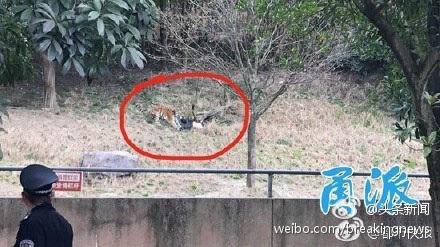 Hình ảnh cho thấy một con hổ đang tấn công người đàn ông (Ảnh: Weibo)