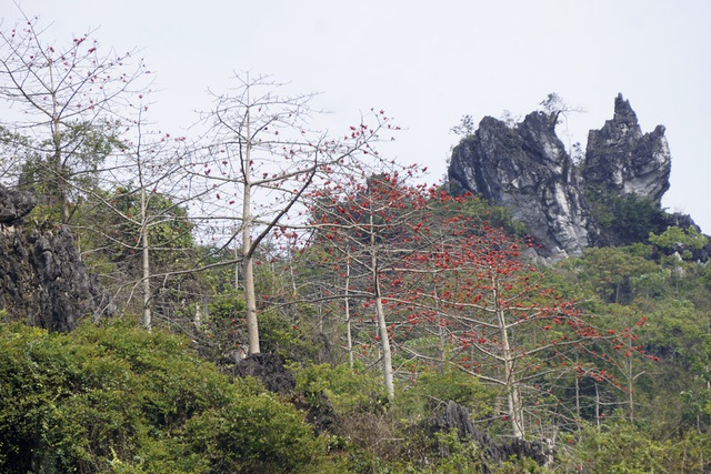 Tháng Ba đi khắp các tuyến đường núi thuộc tỉnh Hà Giang, những vạt cây gạo đang độ ra hoa đỏ rực tạo nên cảnh sắc tuyệt đẹp. Dáng cây khẳng khiu, cao vút. Hoa nở thành chùm nổi bật trên lưng trời. Kết hợp lại, phong cảnh vùng núi Hà Giang rộng lớn như một bức tranh hoàn hảo được kiến tạo bởi thiên nhiên. (Ảnh: Hữu Nghị)