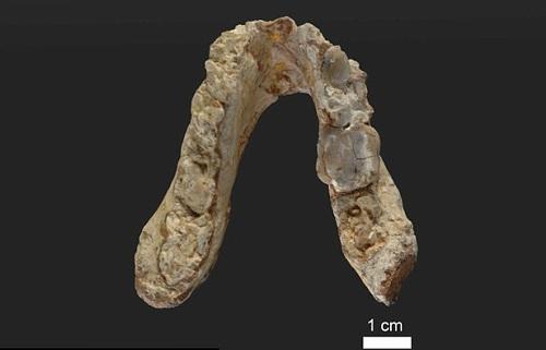 Mẫu hóa thạch hàm dưới được tìm thấy ở Pyrgos Vassilissis, Hy Lạp.