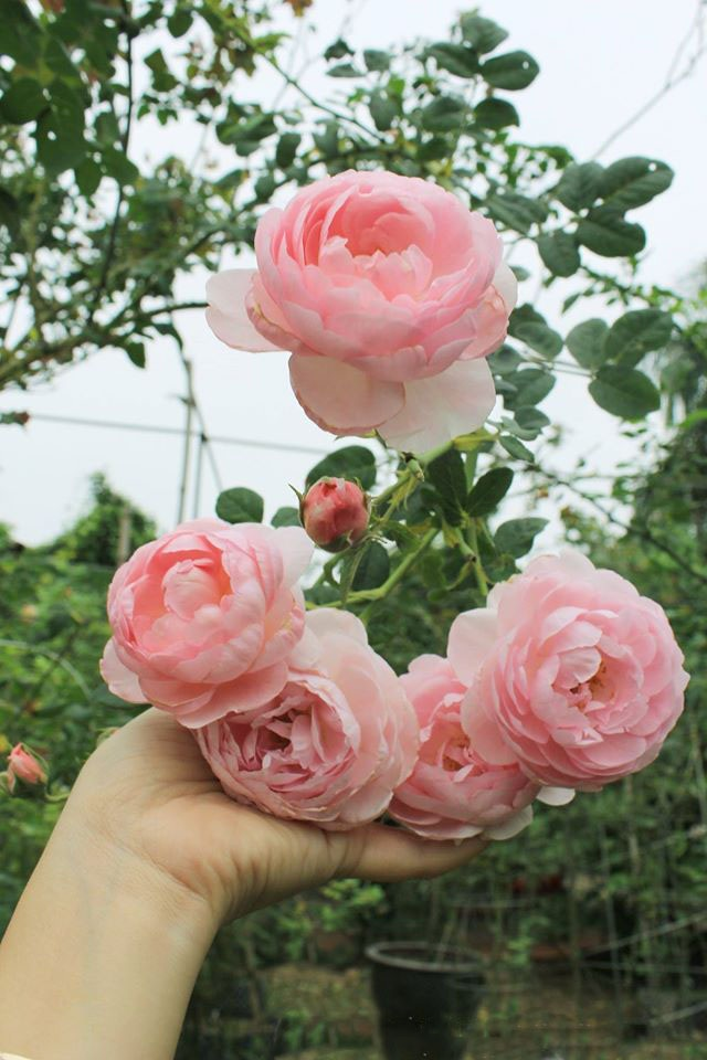 Nhiều loại hồng ngoại nhập về Việt Nam sẽ được ghép với gốc hồng tầm xuân (bản địa) để giữ nguyên phẩm chất và phom hoa cũng như chống chịu được với khí hậu khắc nghiệt của miền Bắc.
