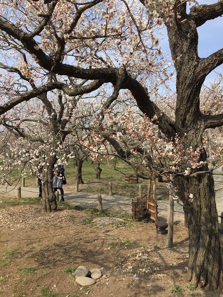 Những thân cây cổ thụ xù xì bung nở hoa ngày xuân
