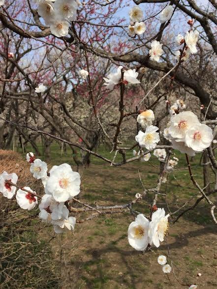 Màu hoa trắng muốt tinh khôi làm trời thêm xuân