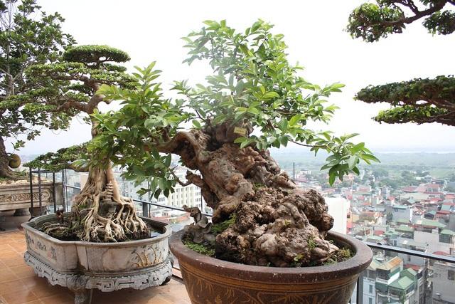 Cây ổi bonsai cổ thụ có tuổi đời trên 100 năm, có nguồn gốc ở Lâm Đồng. Ảnh: Hà Trang