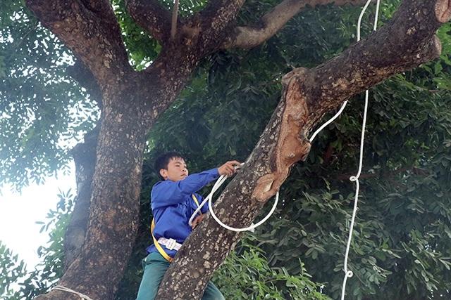 Trước khi đánh chuyển, lực lượng công nhân sẽ cắt tỉa làm gọn tán cây xà cừ