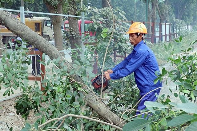 Các cành xà cừ bị cắt bớt tạo điều kiện thuận lợi cho quá trình đánh chuyển cây