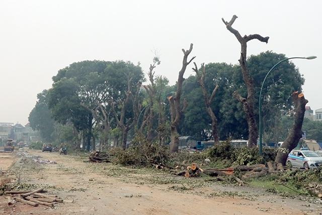Để làm đường Phạm Văn Đồng, TP Hà Nội sẽ đánh chuyển khoảng 1200 cây xanh