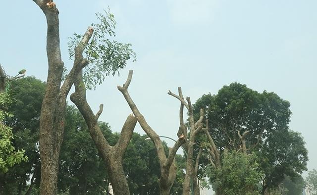 Dự kiến từ nay đến hết tháng 12/2017, quá trình đánh chuyển cây trên đường Phạm Văn Đồng sẽ thực hiện xong.