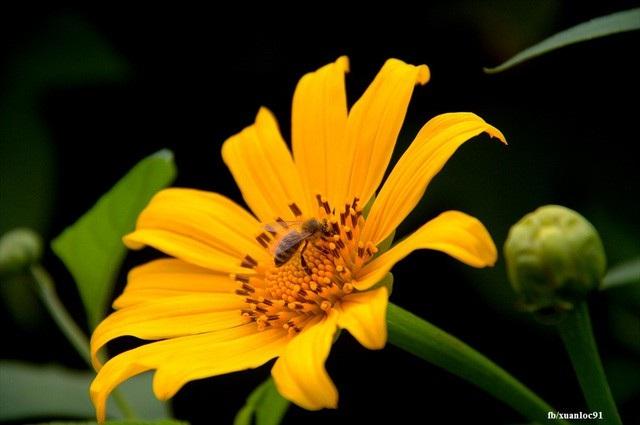 Những cánh hoa vàng rực mang vẻ đẹp rất đặc trưng. Ảnh: Xuân Lộc